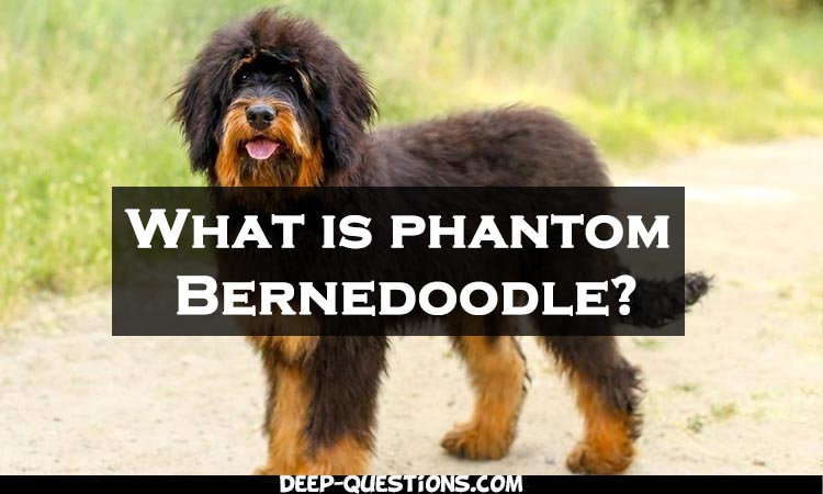 Who is phantom Bernedoodle? by Deep Questions